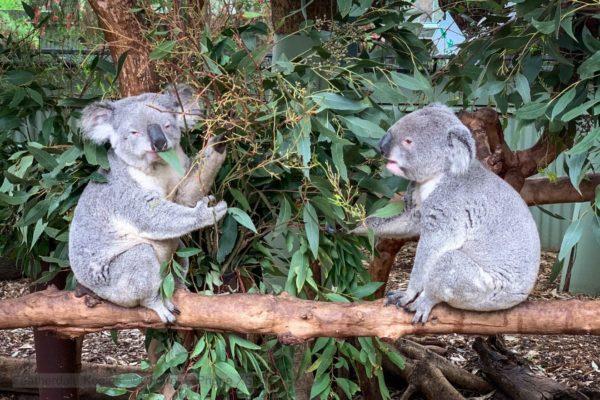 koalas at featherdale wildlife park