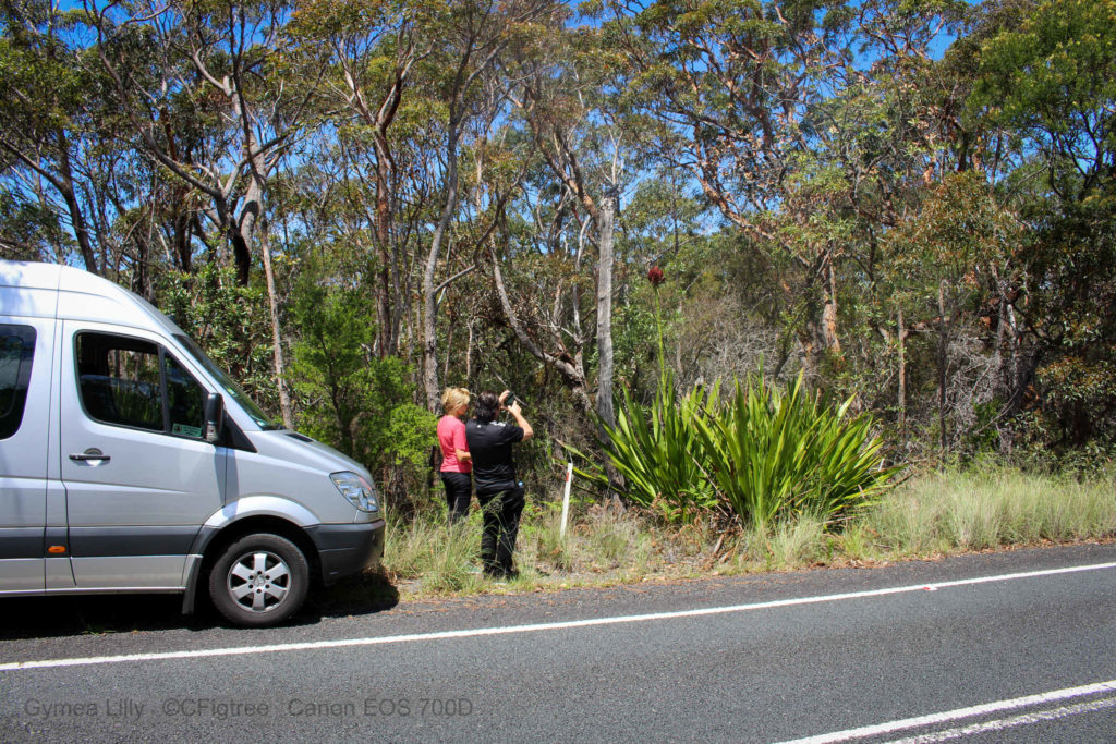 Guests stopping the van and taking close-up of a Gymea Lilly on our South Coast Private Tour