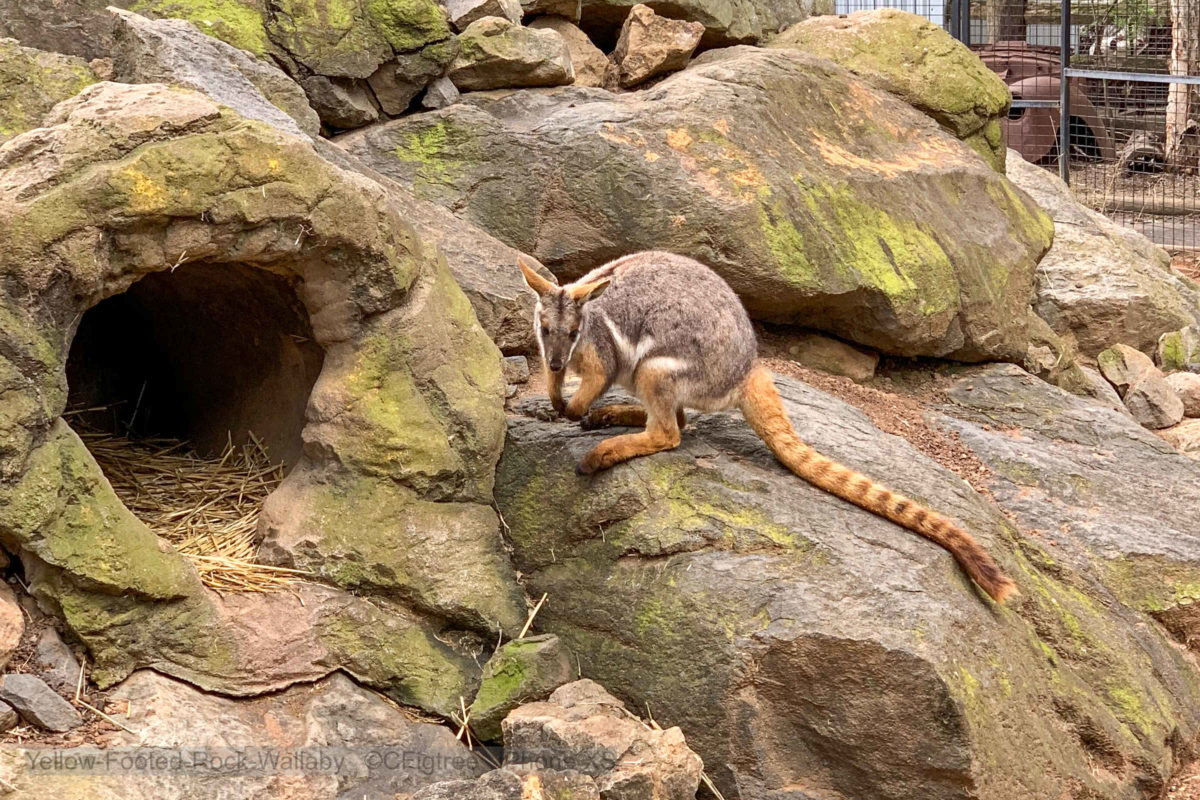 Featherdale Yellow Footed Rock Wallaby