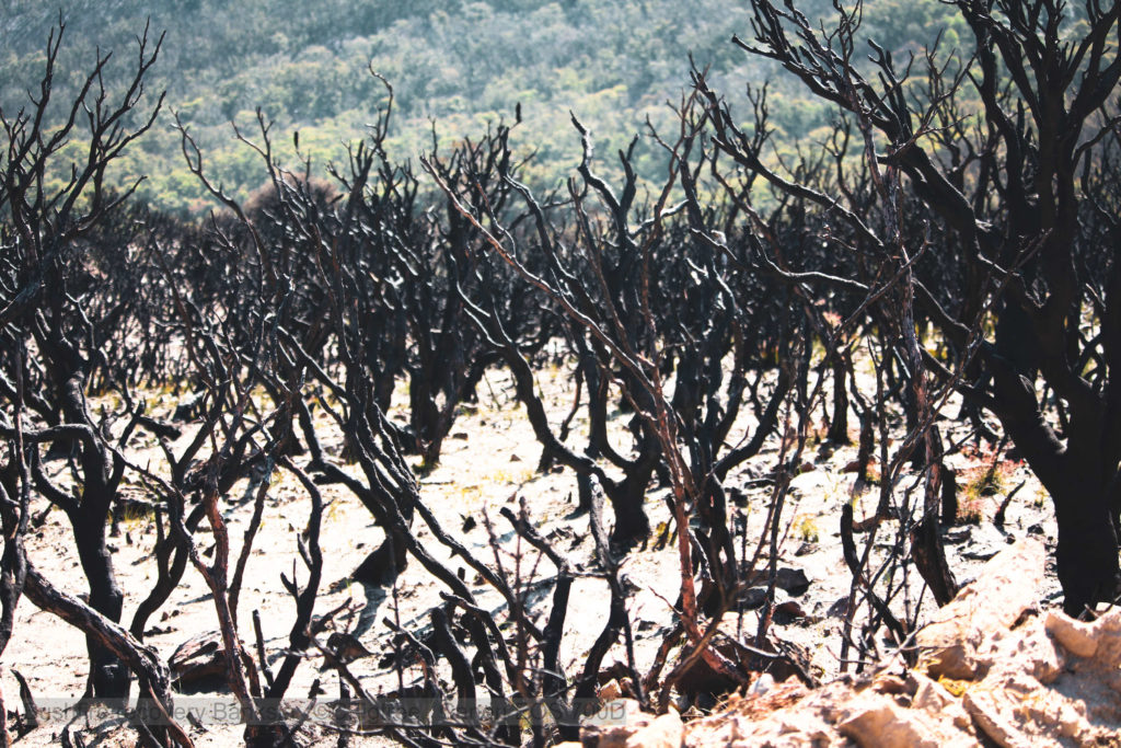 A forest of burnt our banksia